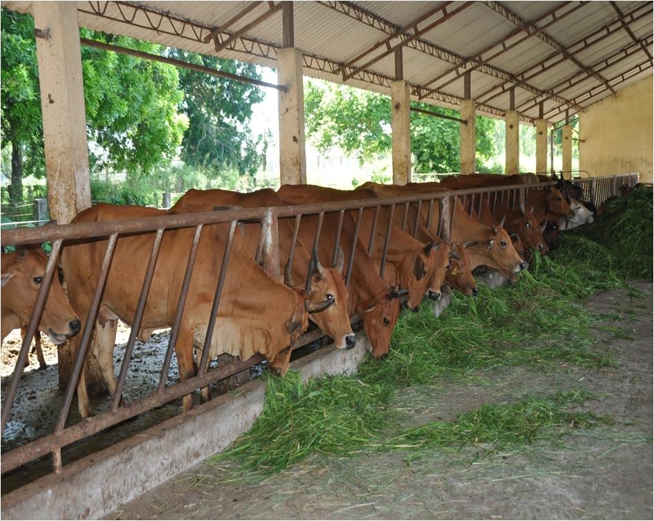 Hình ảnh đại gia súc