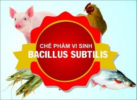 Chế phẩm vi sinh Baciillus Subtilis