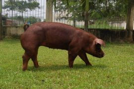 Giống lợn