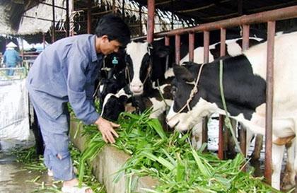 TP Hồ Chí Minh tổ chức lại nghề chăn nuôi bò sữa